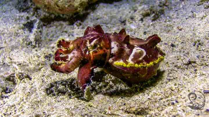 Flambouyant cuttlefish flashing colours camouflage and feeding