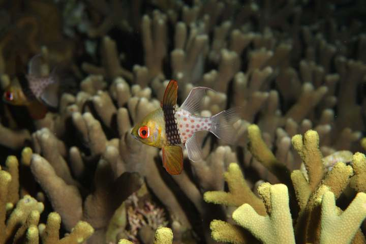 Cardinal fish by Q Phia