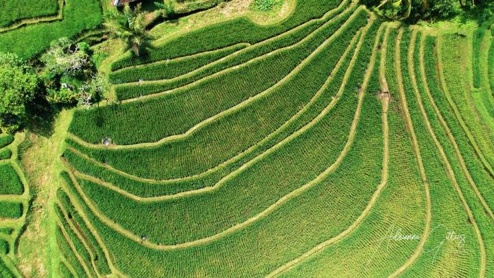 patterns in rice fields, paddies, desa belimbing, Bali, Indonesia, green, lush, drone, aerial