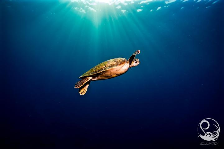 Green turtle in blue water, trailing man-of-war jellyfish tentacle