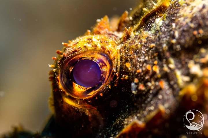 Close up of scorpionfish eye