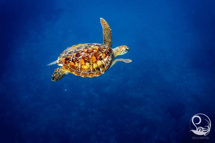 turtle, blue water, green turtle