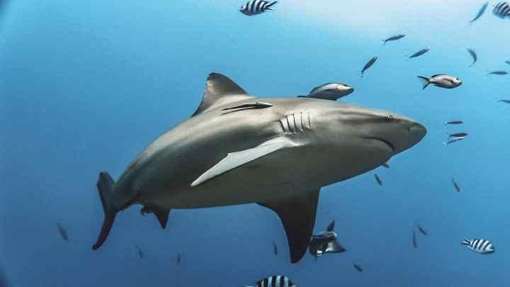 Large bull shark swimming overhead in beautiful blue clear water, Beqa lagoon, Fiji