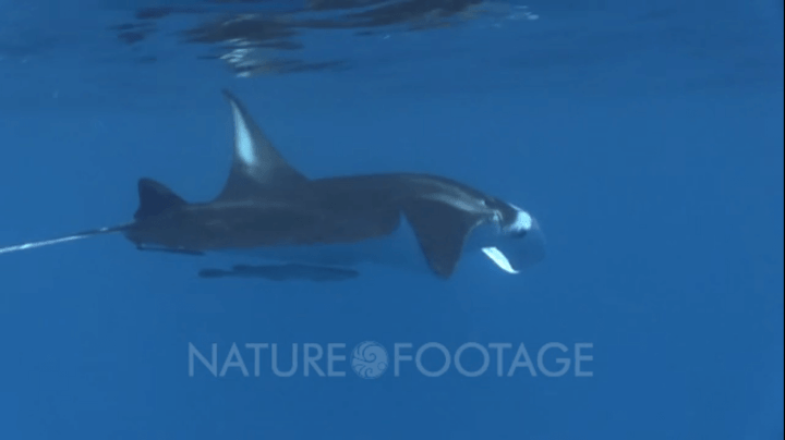 manta in blue water with reflection at the surface, stock footage at nature footage