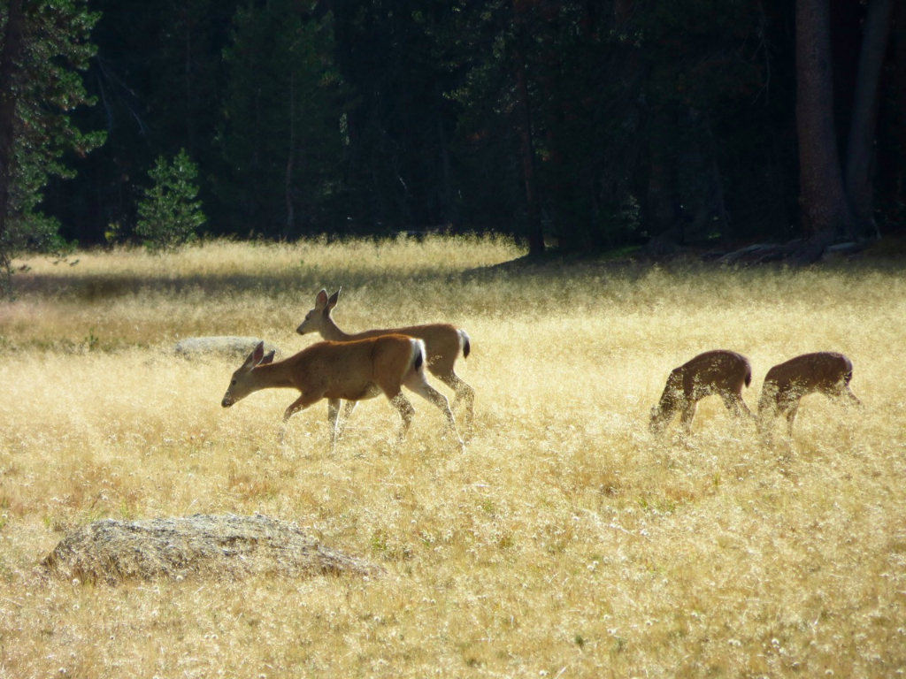 Two adult deer with two fawn in golden field