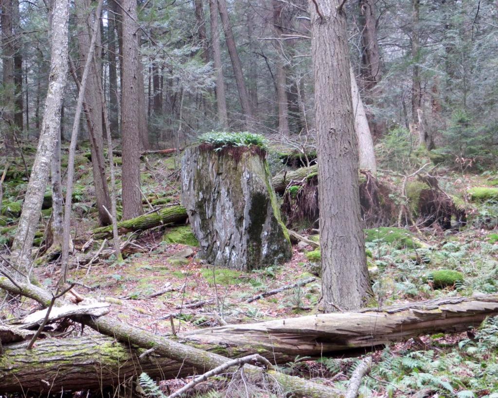 Ferns on top of big boulder