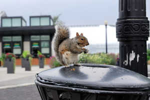 Urban_wildlife_-_squirrel