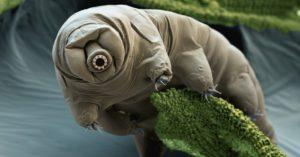 tardigrade, ursuleti de apa