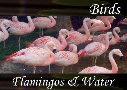 SoundScenes - Atmo-Birds - Flamingos and Water