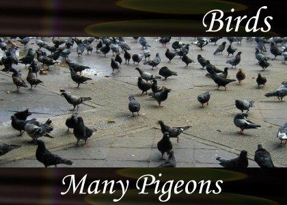 SoundScenes - Atmo-Birds - Many Pigeons 1