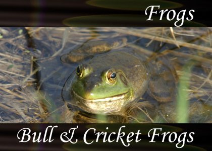 Bull and Cricket Frogs