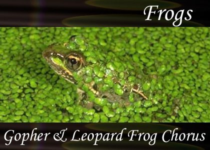SoundScenes - Atmo-Frogs - Gopher and Leopard Frog Chorus