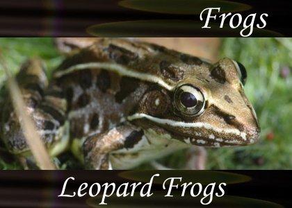 SoundScenes - Atmo-Frogs - Leopard Frogs