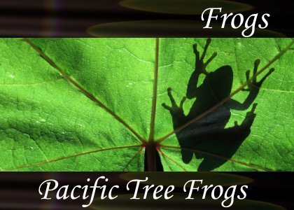 SoundScenes - Atmo-Frogs - Pacific Tree Frogs