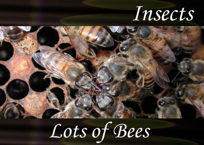 SoundScenes - Atmo-Insects - Lots of Bees