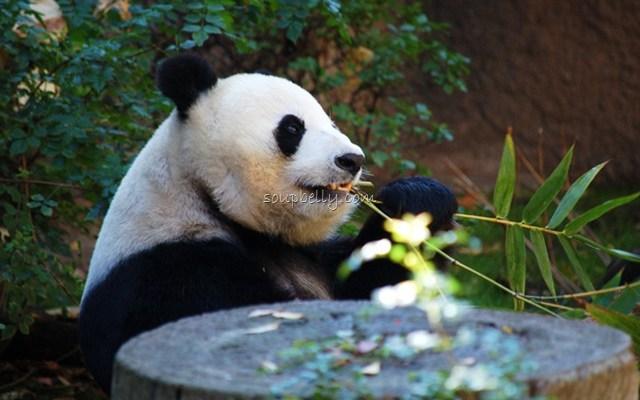 Pandas Pandas Pandas!