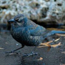 Rusty Blackbird