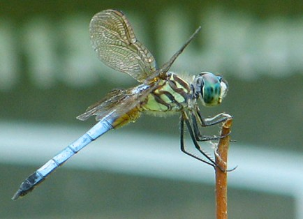 A male blue dasher (Pachydiplax longipennis) overlooks an experimental pond array at Tyson, WUSTL's field station for ecosystem studies. (Courtesy Travis Mohrman)