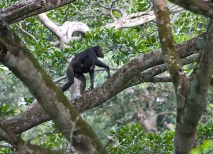 A female chimpanzee and her infant move freely about in the dense forest canopy, some 130 feet above the ground. (Courtesy Ian Nichols)