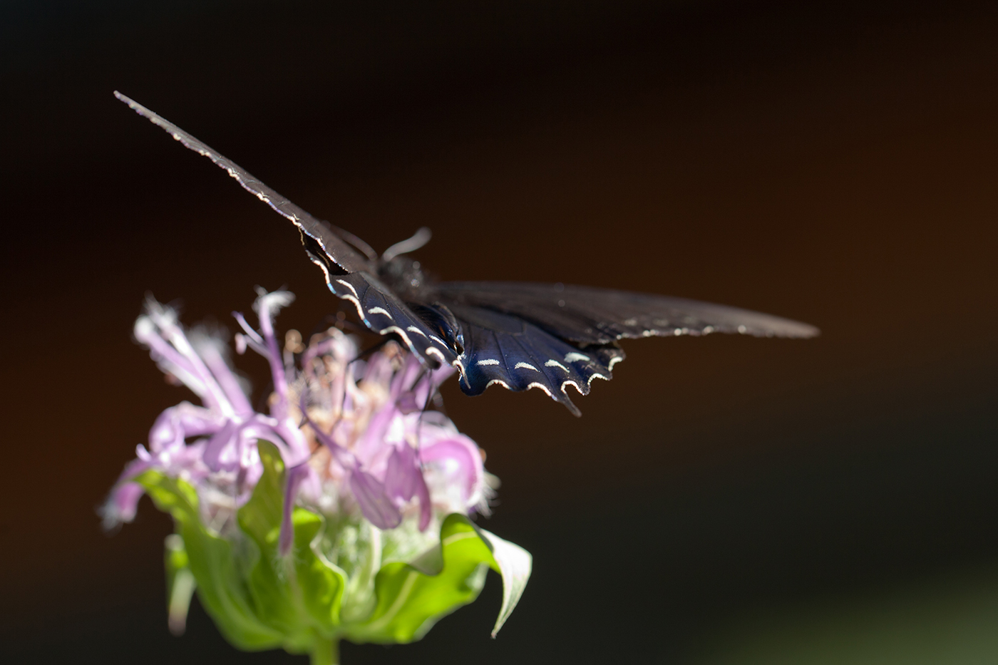 A butterfly on a beebalm flower (Photo: Jonathan Myers)