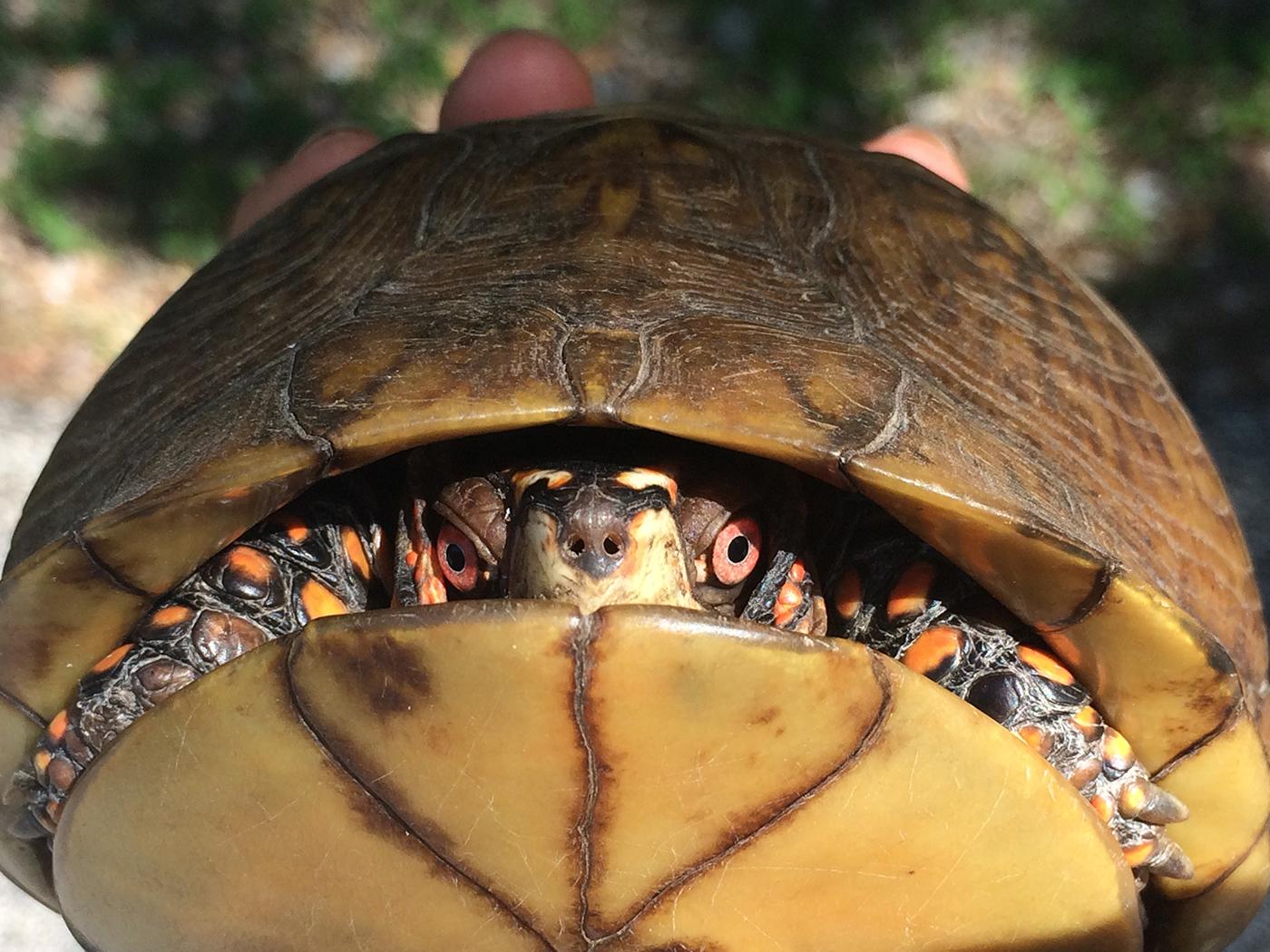 Animals of Tyson: a box turtle (Photo: Jonathan Myers)