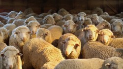 Wool Prices Do About-Face April