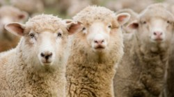 Wool Prices Decline First Month of