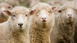 Wool Prices Slip October