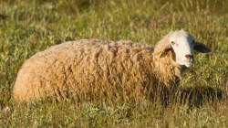 Wool Prices Show Little Sign of