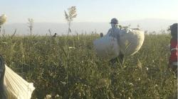 Uzbekistan cotton pickers