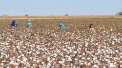 Soil Association Report Decries India's GM