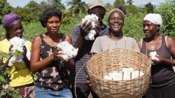 Cotton Field Grows Haiti the Country