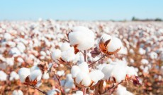 Cotton Prices Stabilize, But Trade and Demand Jitters Cloud Forecast