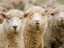 Wool Prices Decline in First Month of New SellingSeason