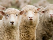 Textile Exchange Releases First Draft of Responsible Wool Standard