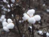 Blockchain Promises Greater Cotton Market Efficiency