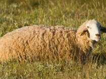 Wool Prices Show Little Sign of Strength in September