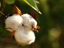 New Partnership Wants to Promote Organic Cotton Farming in Pakistan