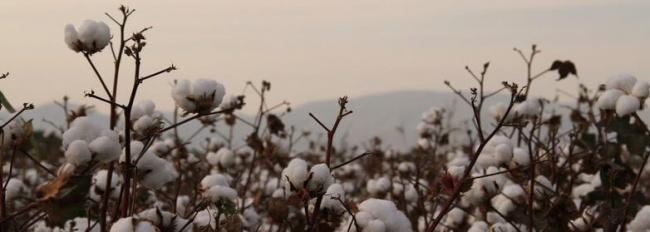 cotton_field_at_sunset_copyright_better_cotton_initiative.jpg