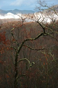 A curvy Sourwood Tree in Fall