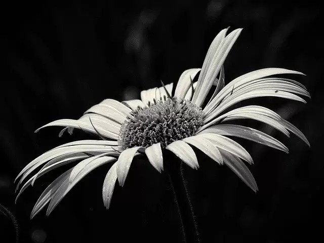 beauty, yellow flower, black and white
