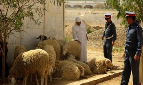 وارزازات: اعتقال عصابة الفراقشية بعد سطوها على 65 رأس من الماشية