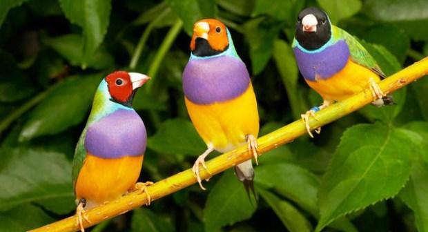 طيور الزينة تعرض جمالها بأكادير أما حكام إماراتيين وفرنسيين