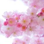 セミリタイア中で時間があるのに「桜の名所」へ花見に行かなかった理由