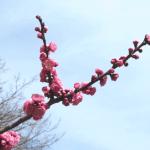 平日のセミリタイア小旅行(京都御苑の梅)