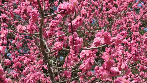 京都御苑の梅2