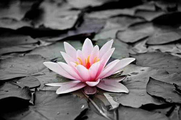 flower スイレン