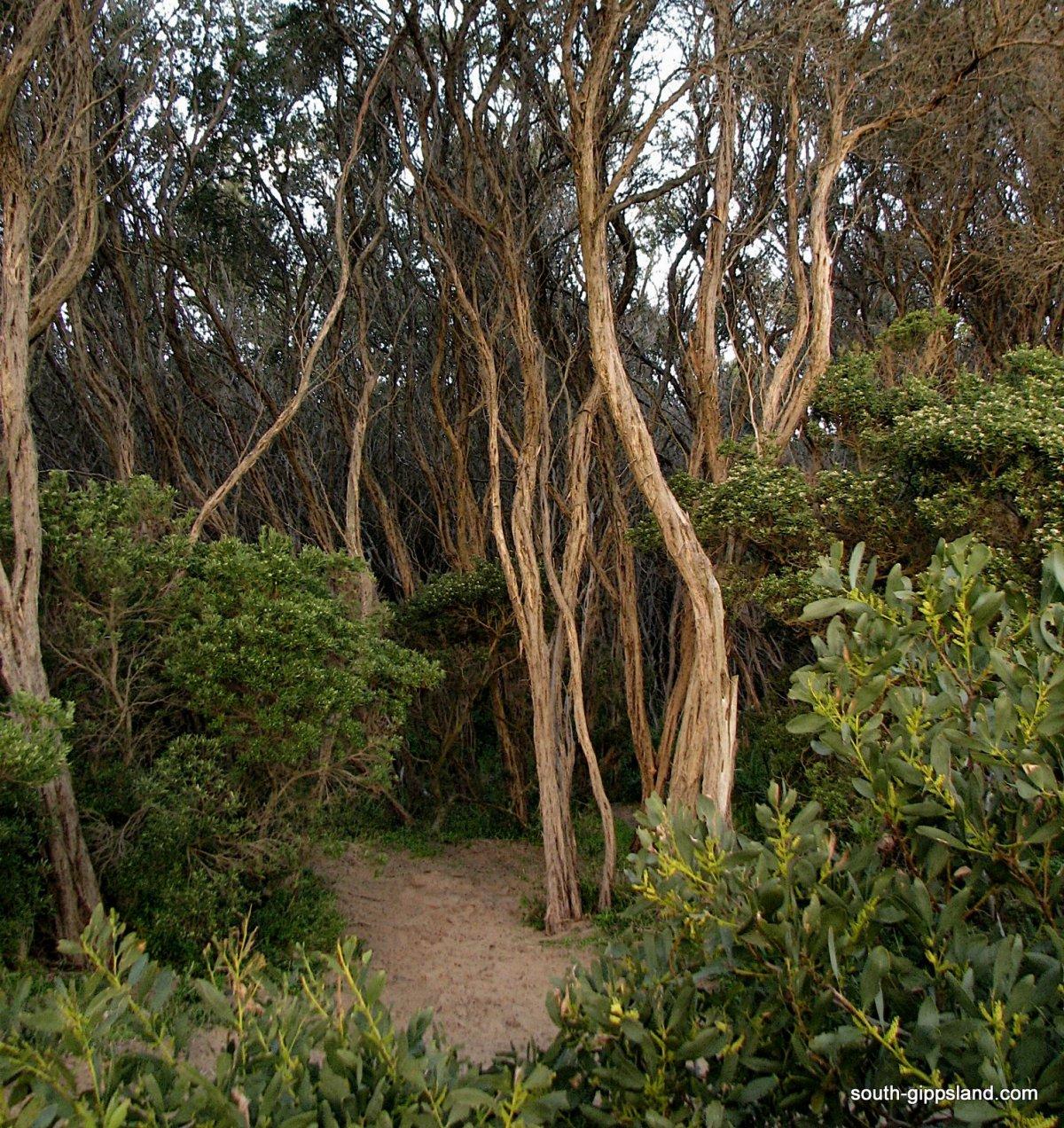 Powlett-River-tee trees