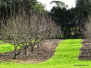 Toora-pear-orchard (5)