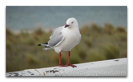 Seagull on the railing of the Historic Long Jetty